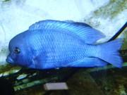 продам аквариумных рыбок , малавийских цихлид