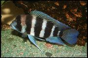 продаю аквариумных рыбок,  цихлиды Малави